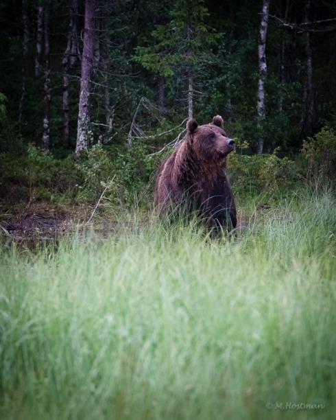 Björnsafari-8